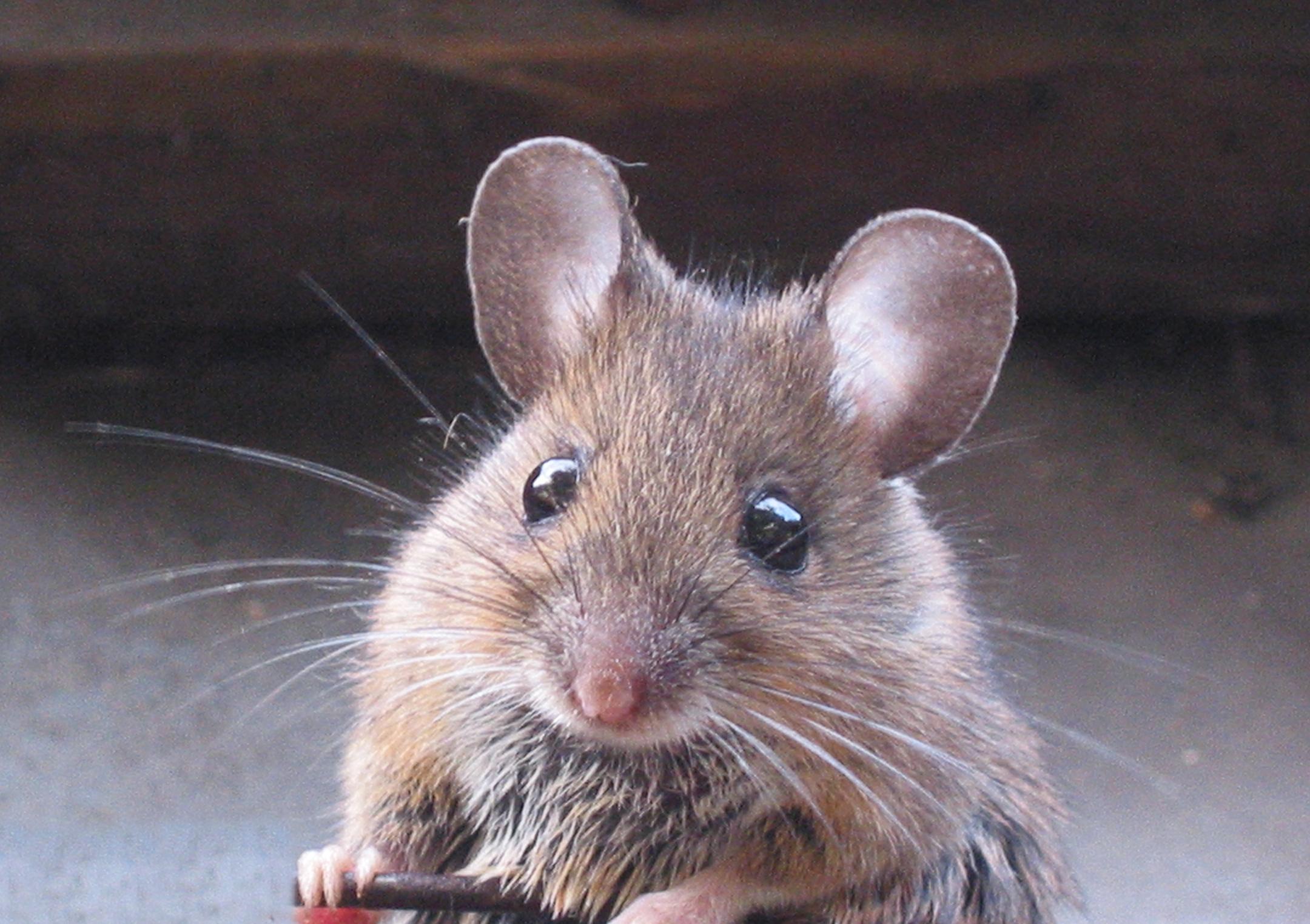 family Muridae - rats, mice, voles, gerbils, hamsters, etc ...