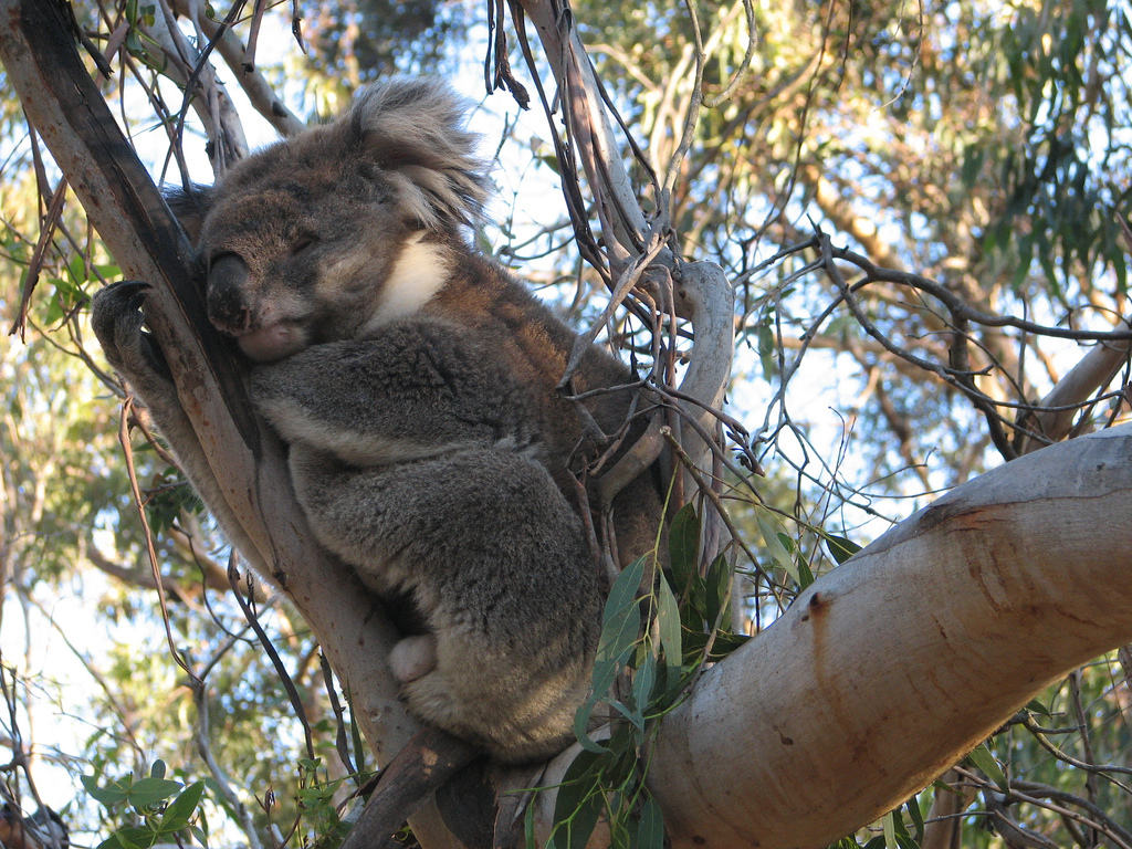 an introduction to the koala the australian jewel Koalas inhabit eucalypt forests and woodlands in eastern australia from north   yampi: awc-defence partnership to protect kimberley jewel | diamantina: awc .