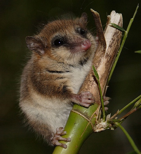 """Microbiotheria/Microbiotheridae Or """"monito Del"""