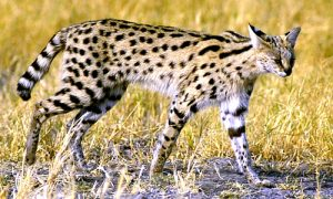 North African Serval