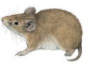 Togo Mouse