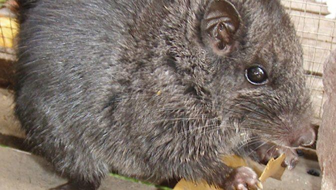 Laotian Rock Rat