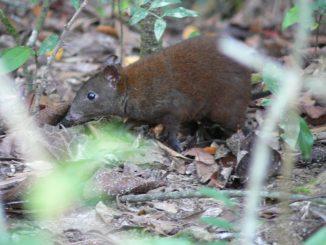 Musky Rat Kangaroo