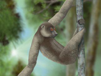 Sloth Lemur
