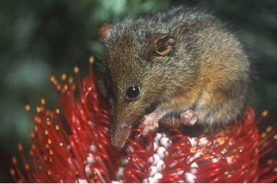 honey-possum4