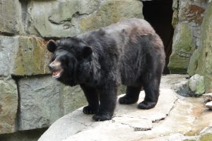 Ussuri black Bear