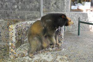 Tibetan Black Bear