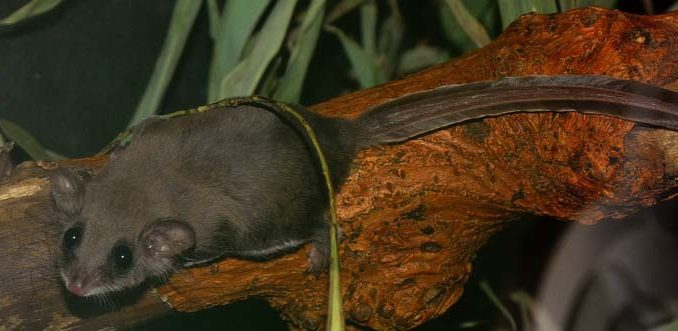 feathertail glider