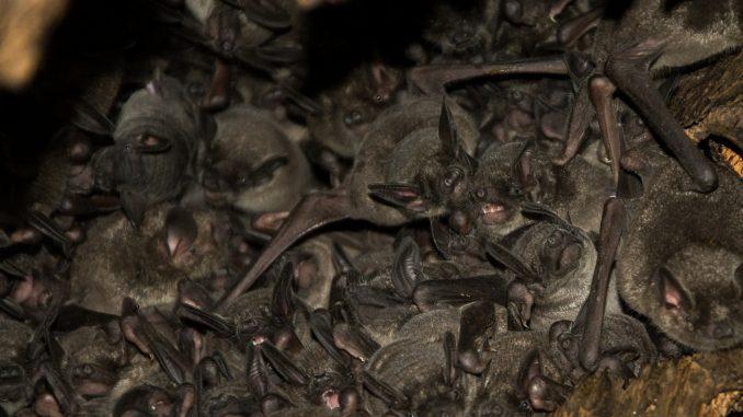 Short-Tailed Bats
